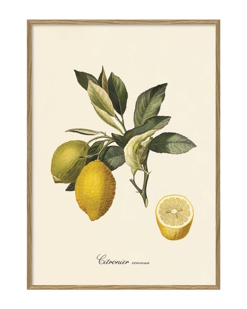 Affiche citronier 30x40cm - THE DYBDAHL