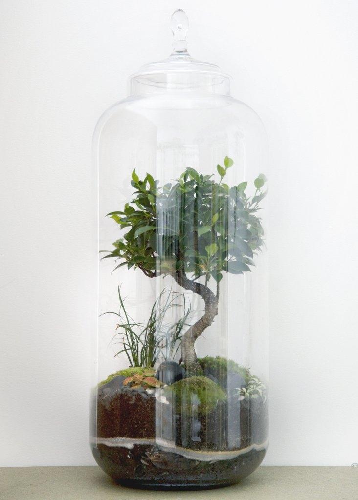 Terrarium Giant Bonsaï Ficus - GREEN FACTORY