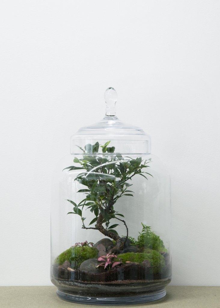 Terrarium Jungle jar Bonsaï Ficus - GREEN FACTORY