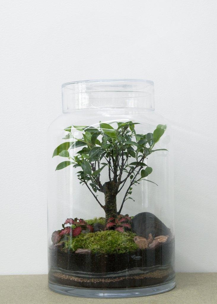 Terrarium Flat Ficus - GREEN FACTORY