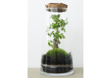 Terrarium Forest Bonsaï Ficus - GREEN FACTORY
