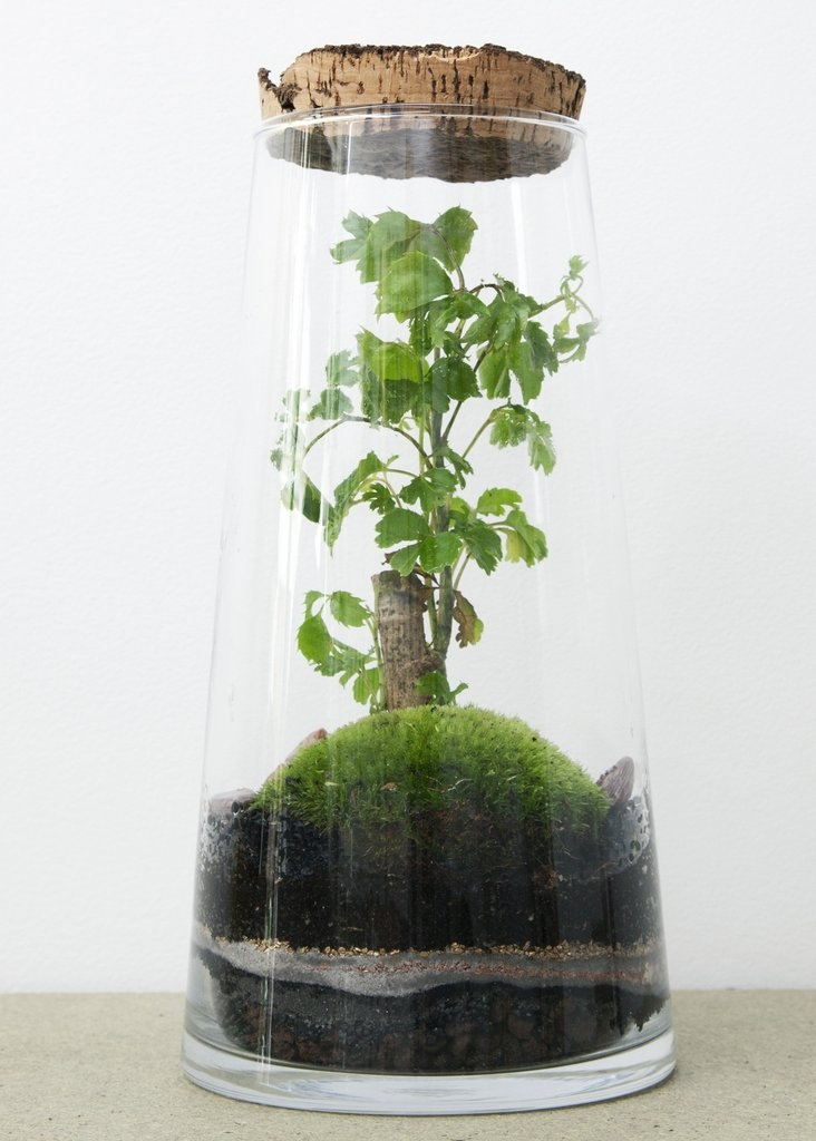 Terrarium Forest High Ficus - GREEN FACTORY