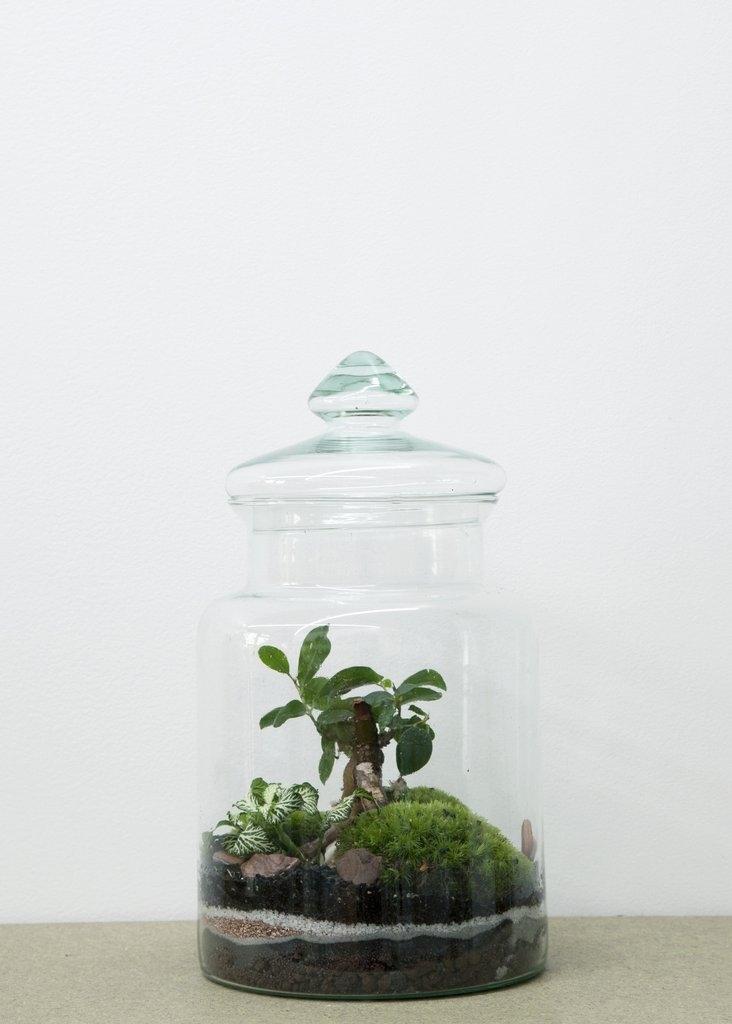 Terrarium Prairie Ficus  - GREEN FACTORY