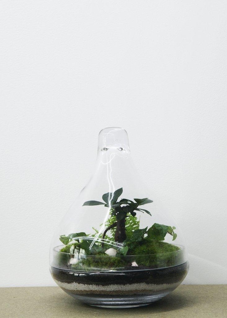 Terrarium Jungle Lab Ficus