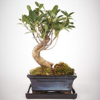 Giant Ficus Retusa - GREEN FACTORY